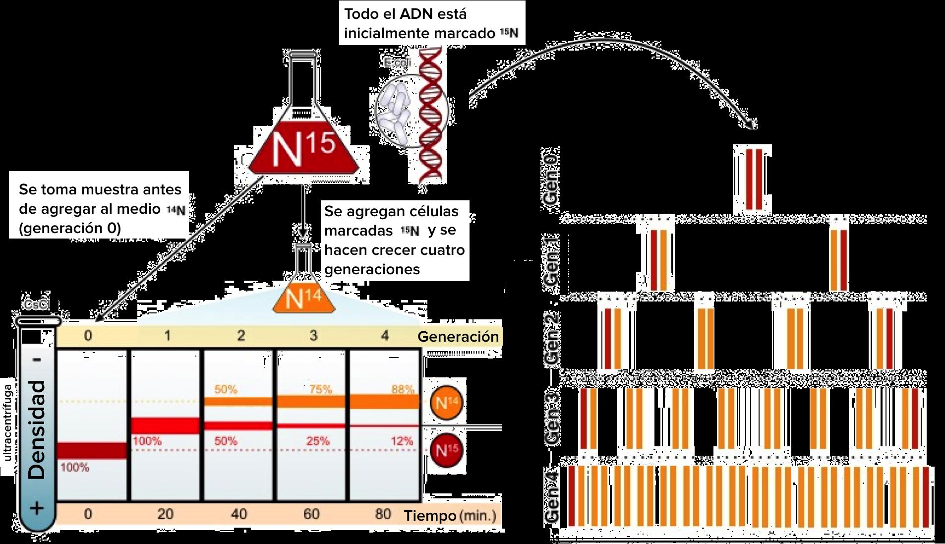 Diagrama del experimento de Meselson-Stahl. Todo el ADN está marcado  inicialmente con nitrógeno bf74e3ea810