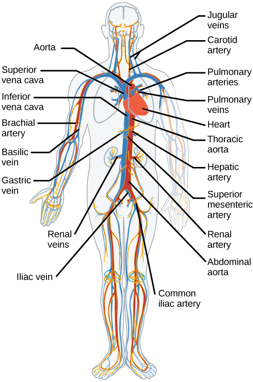 The Circulatory System Review Article Khan Academy