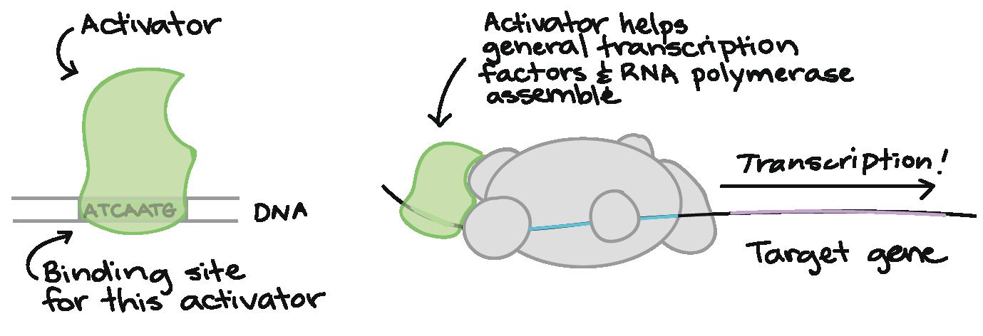 transcription activator protein structure