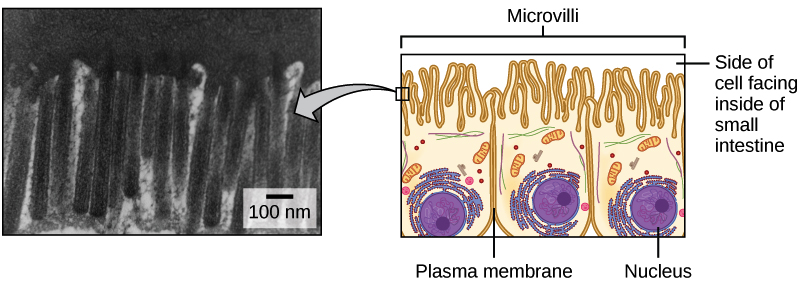 diagram and micrograph of intestinal cells, showing the protruding