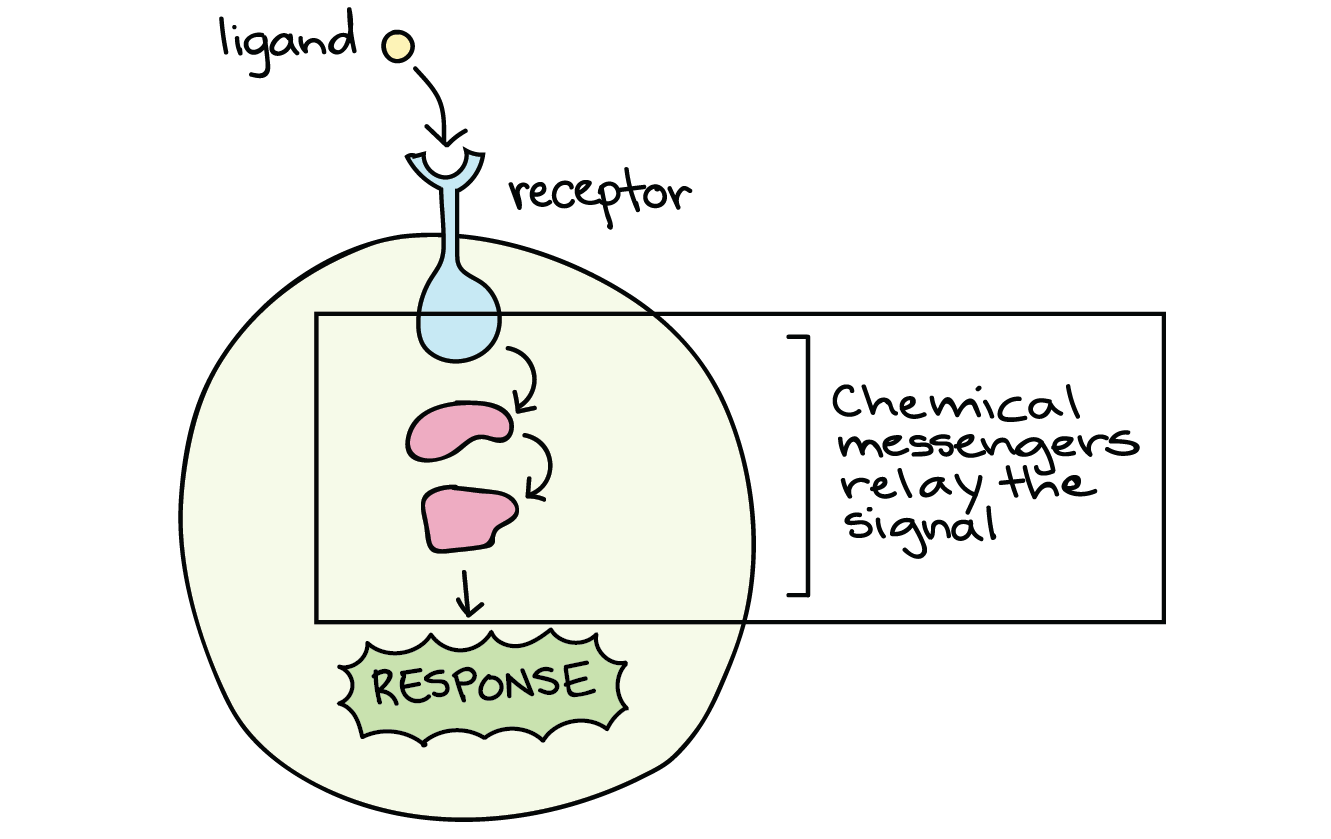 for receptors located on the cell membrane, the signal must be passed on  through other molecules in the cell, in a sort of cellular game of