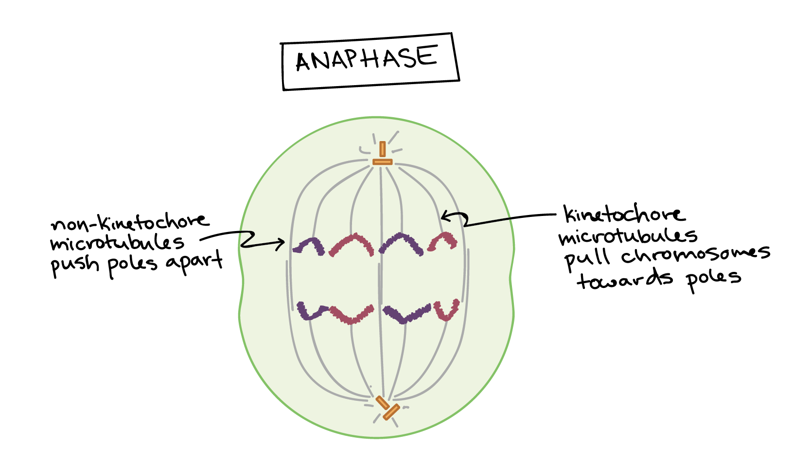 Bacterial Binary Fission The Cell Cycle And Mitosis Article Plant Animal Cells Diagram Medical Khan Academy