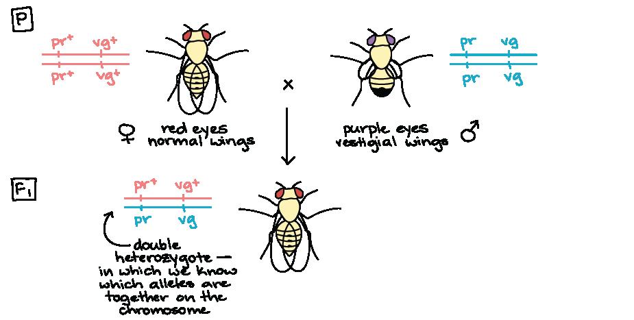 Genetic Linkage Mapping Article Khan Academy