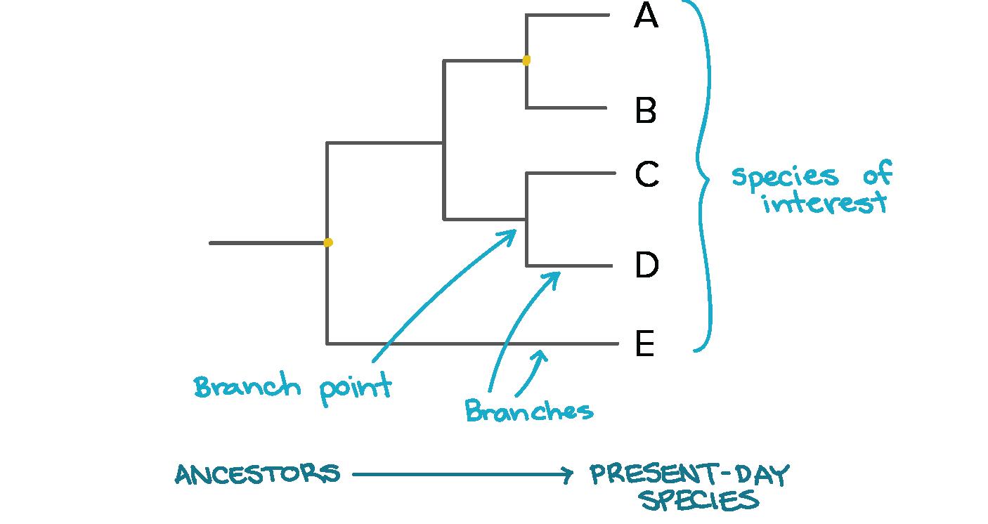 Phylogenetic Trees Evolutionary Tree Article Khan Academy