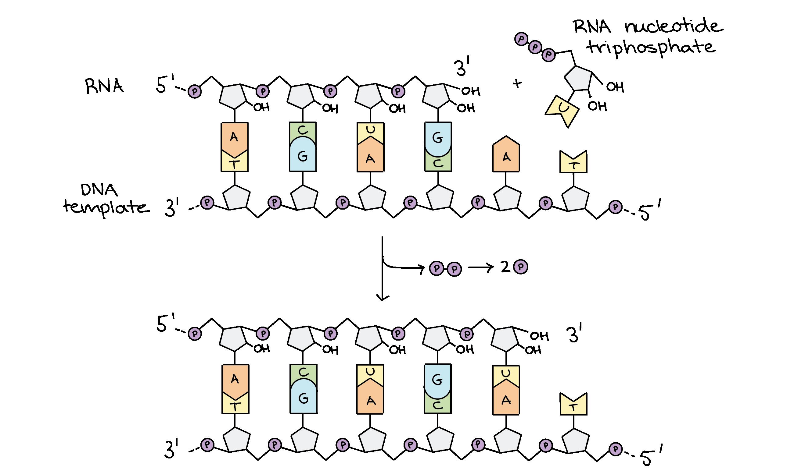 Stages Of Transcription Initiation Elongation Termination