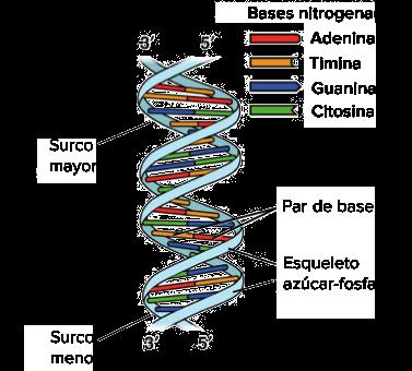 Descubrimiento De La Estructura Del Adn Artículo Khan
