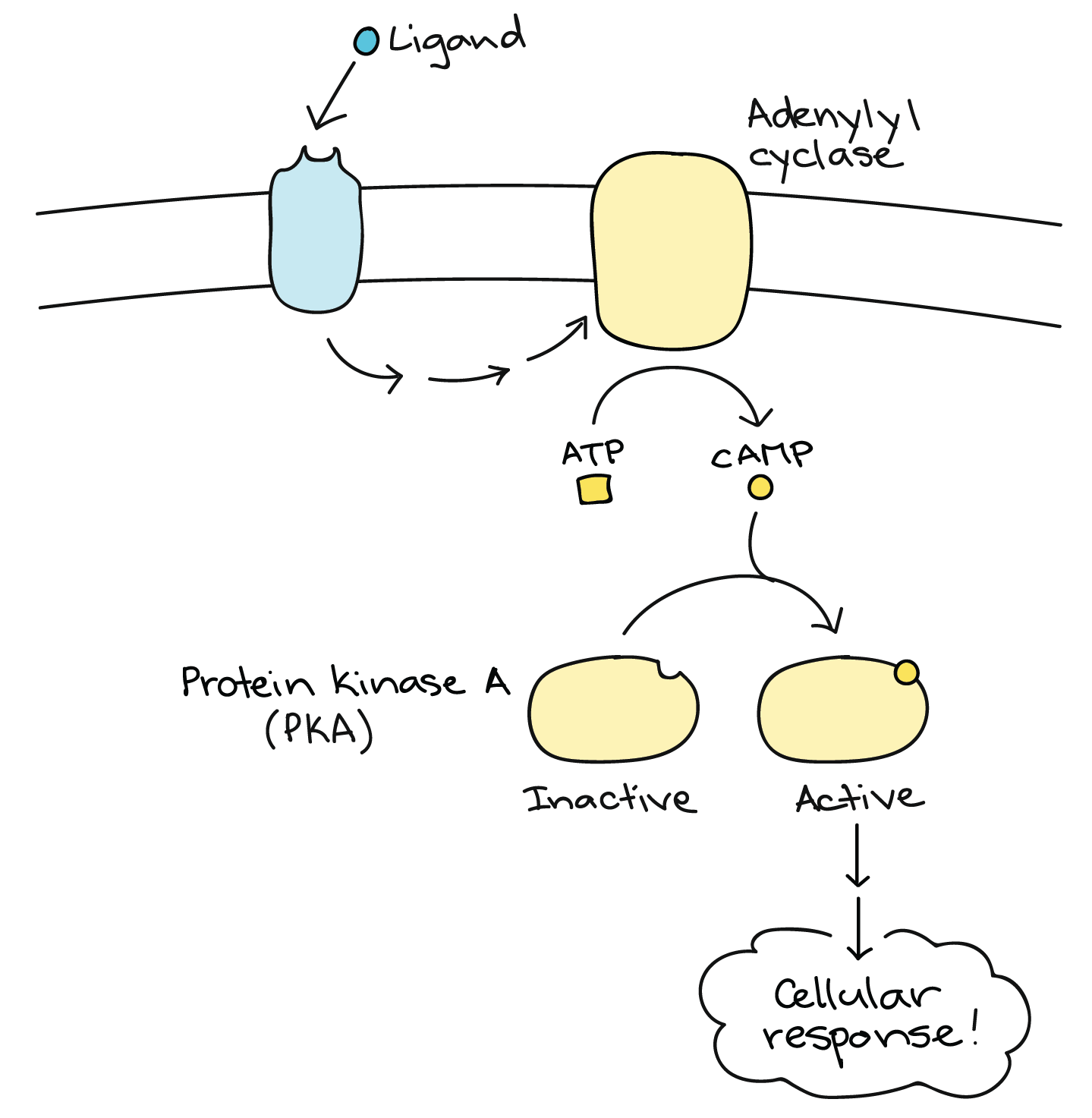 Proteins Concept Map.Signal Transduction Pathway Cell Signaling Article Khan Academy
