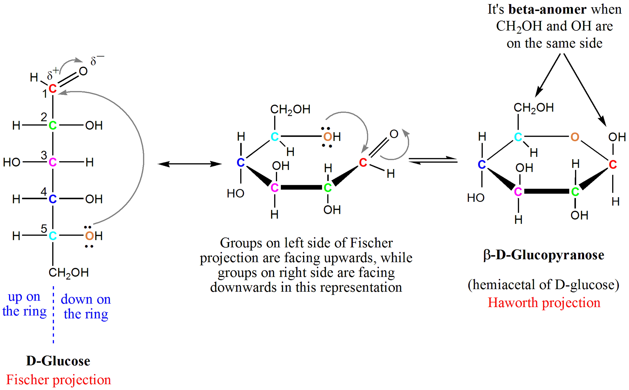diagram showing how to form a hemiacetyl of glucose from its original open  form, seen