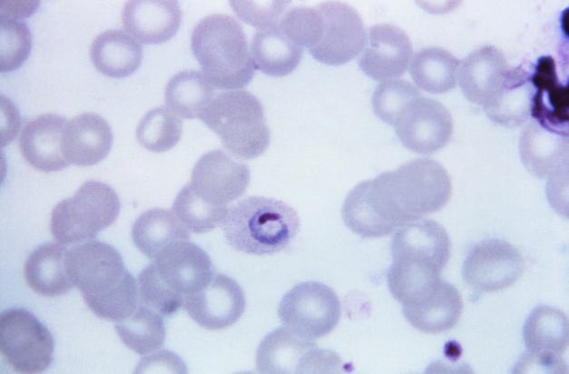a malária plazmodium életszakaszai