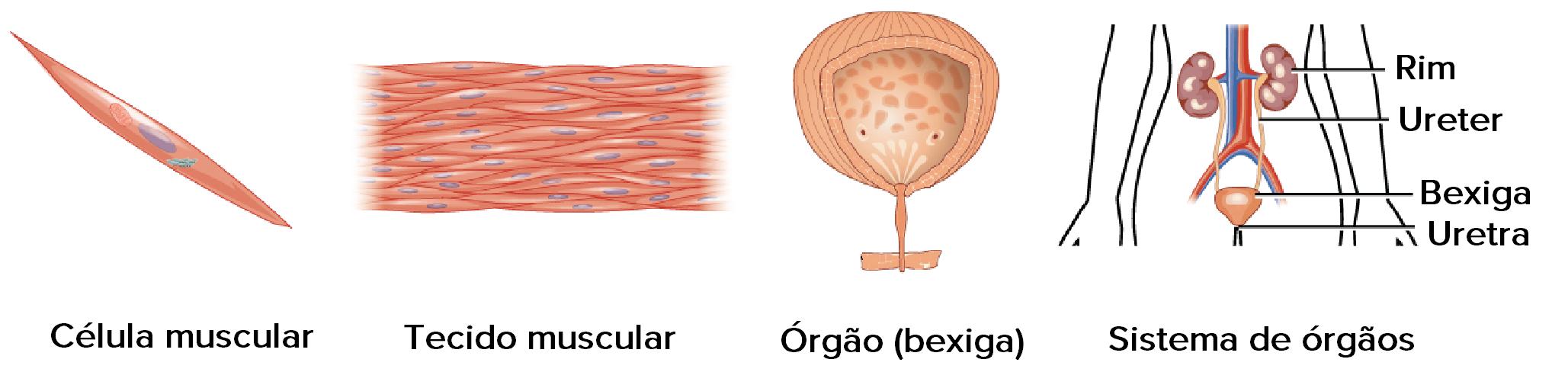 como o sistema imunológico trabalha com o sistema circulatório para manter a homeostase