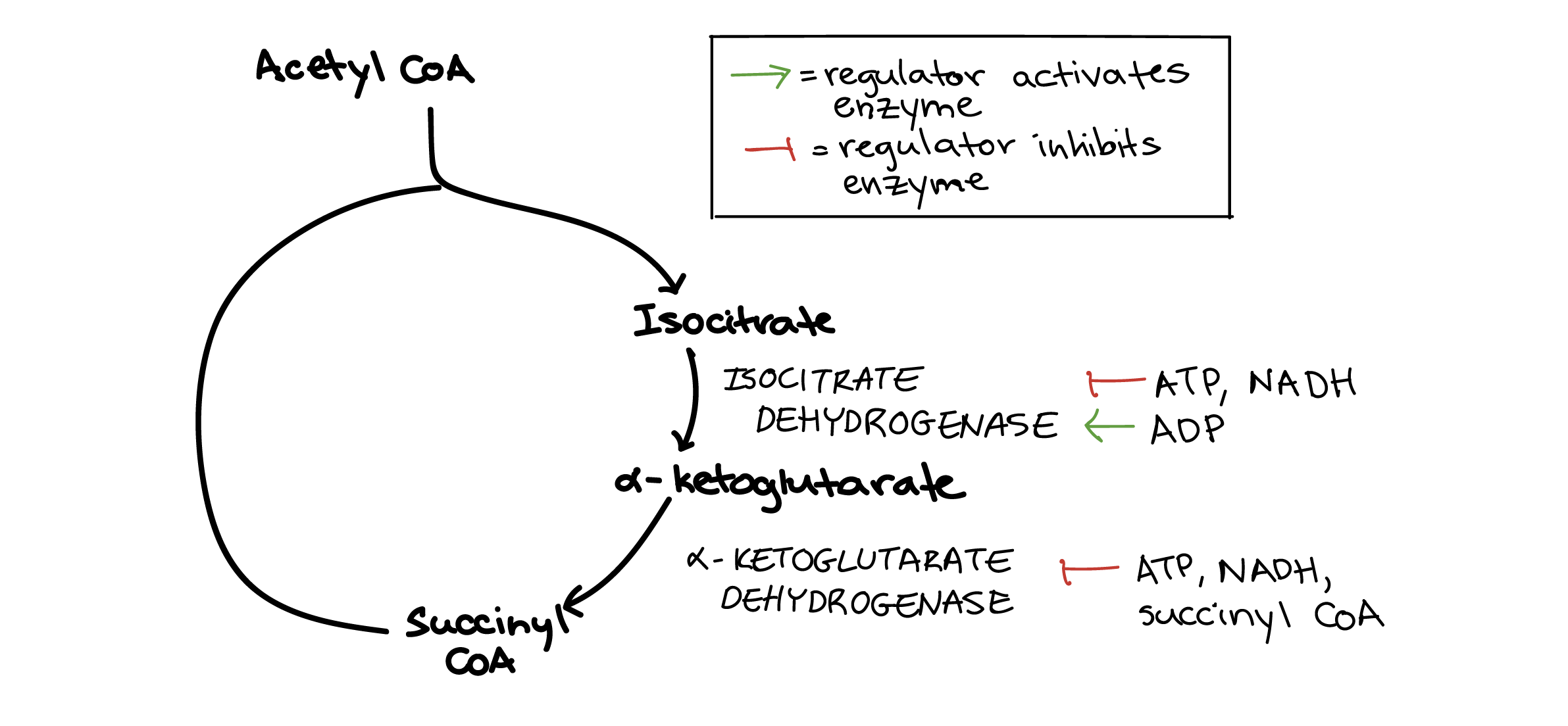 regulation of cellular respiration (article) khan academy Electron Transport Chain Diagram diagram showing regulation of the citric acid cycle the conversion of isocitrate to �
