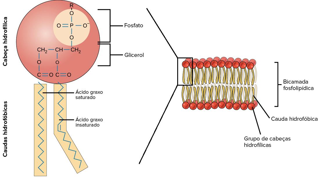 Lipídios Artigo Macromoléculas Khan Academy