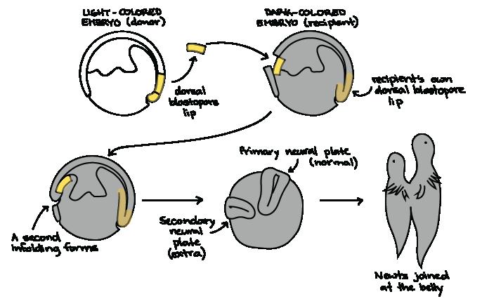 Do desenvolvimento pdf biologia gilbert