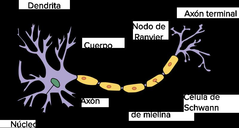 Repaso De Los Sistemas Nervioso Y Endocrino Artículo Khan Academy