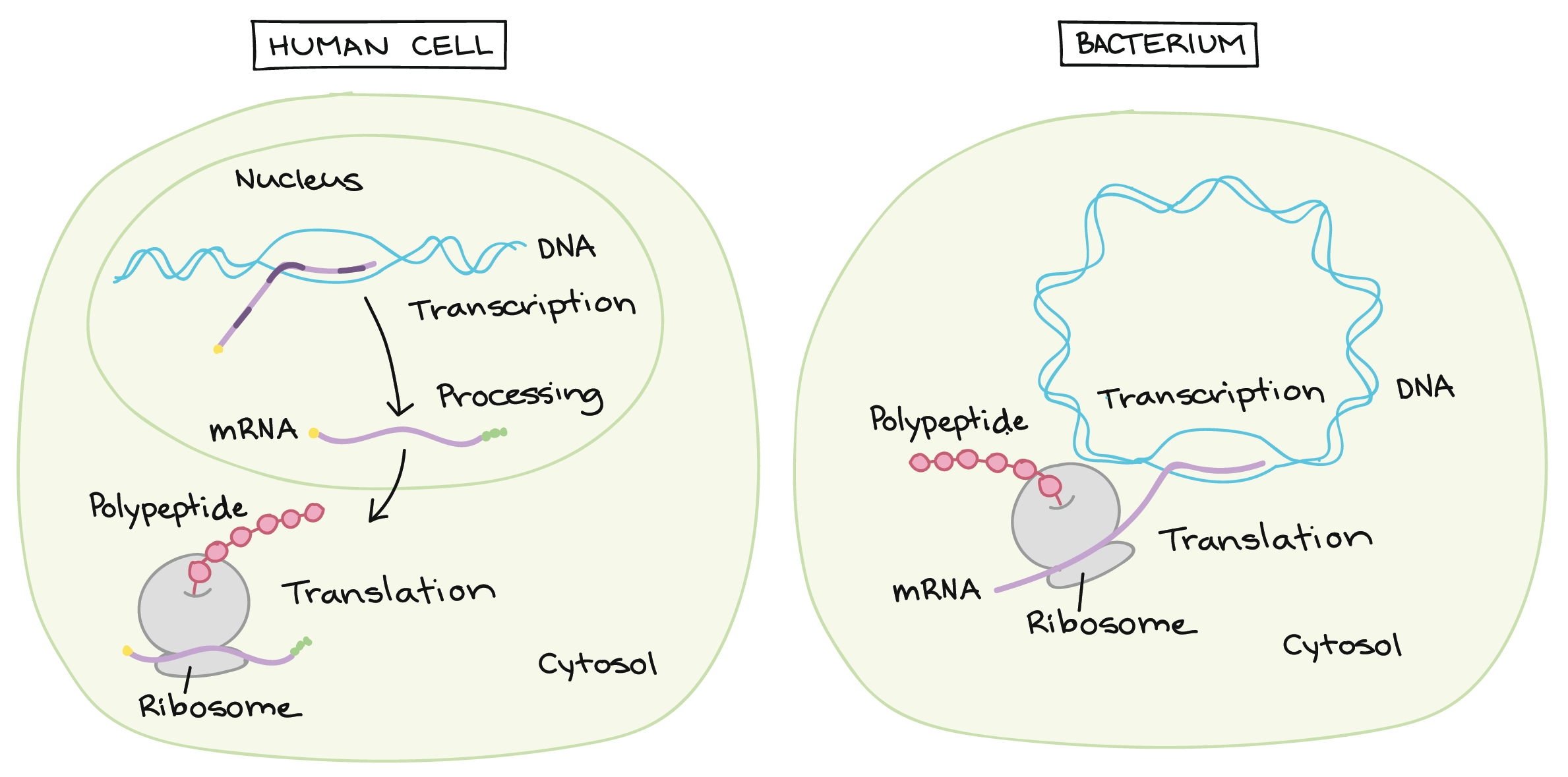 Intro to gene expression (central dogma) (article)   Khan