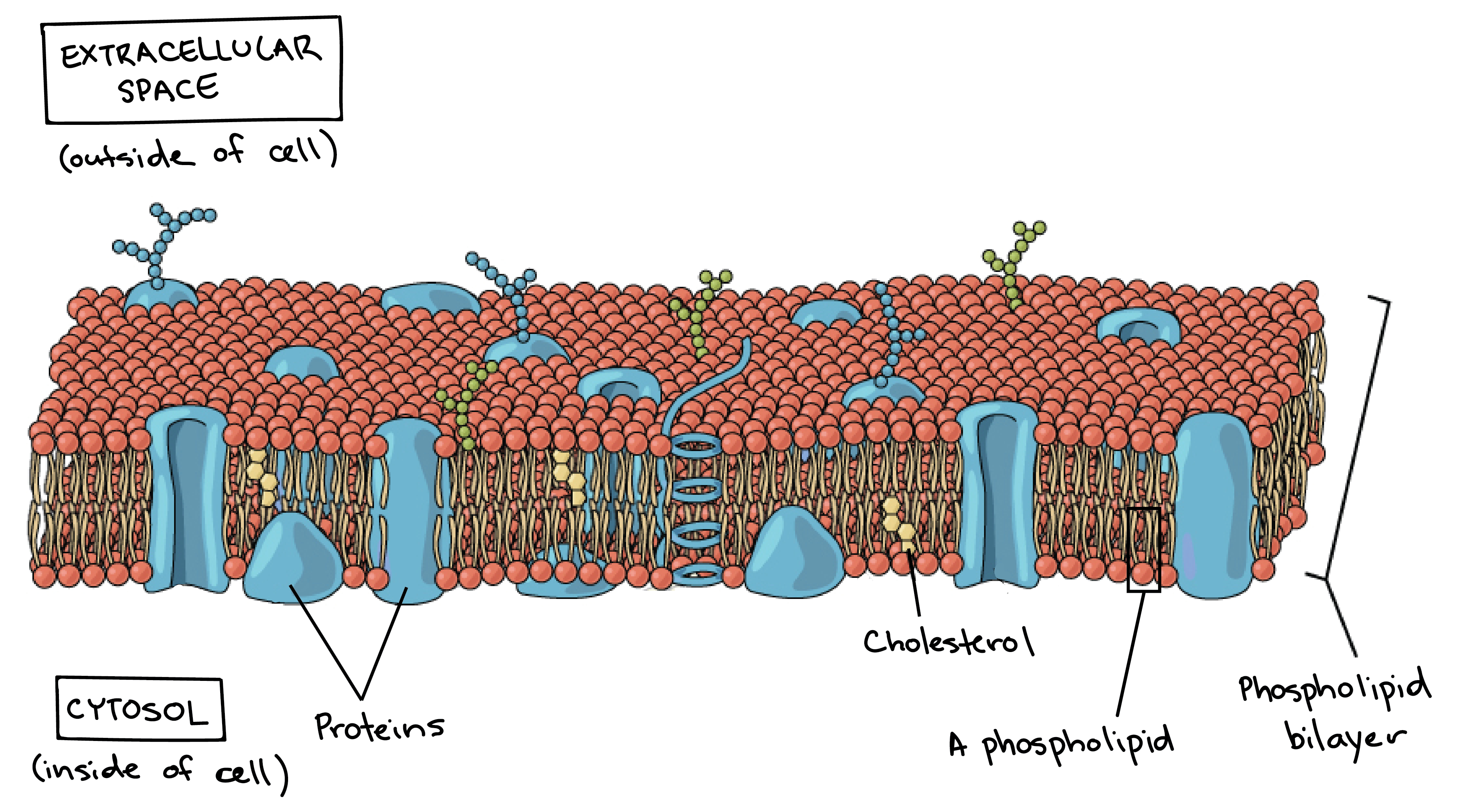 an image of plasma membrane shows the phospholipid bilayer, embedded  proteins, and cholesterol molecules