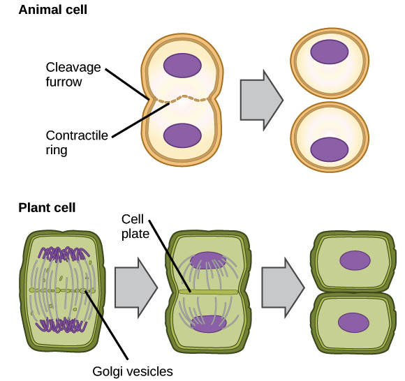 mitosis in plant cells