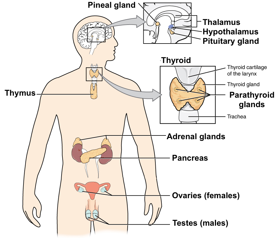 The nervous and endocrine systems review (article) | Khan