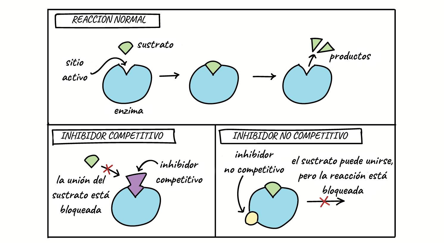 Regulación enzimática (artículo) | Khan Academy