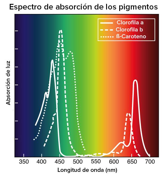 Luz Y Pigmentos Fotosinteticos Articulo Khan Academy