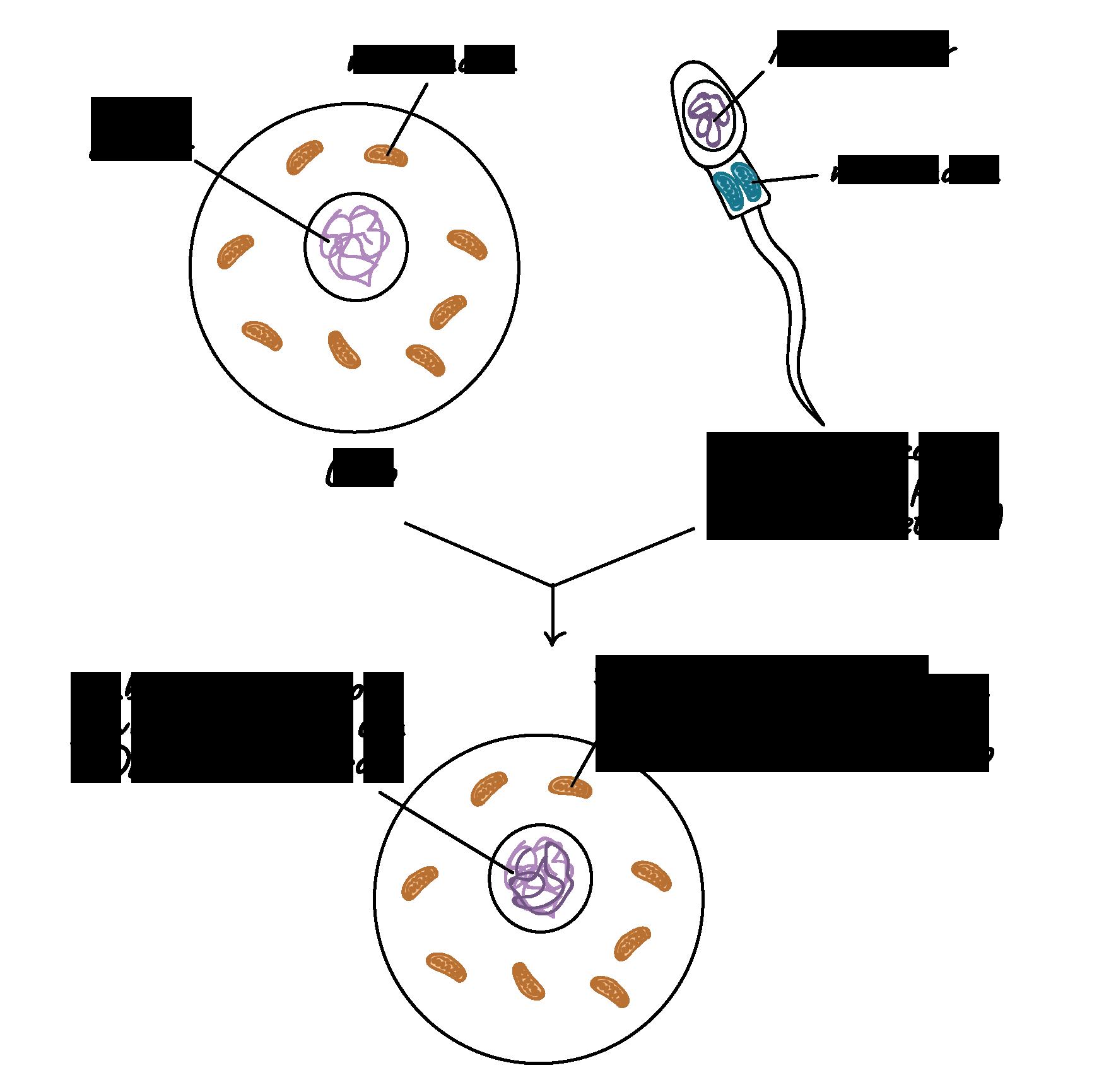 Herencia de ADN mitocondrial y cloroplástico (artículo) | Khan Academy