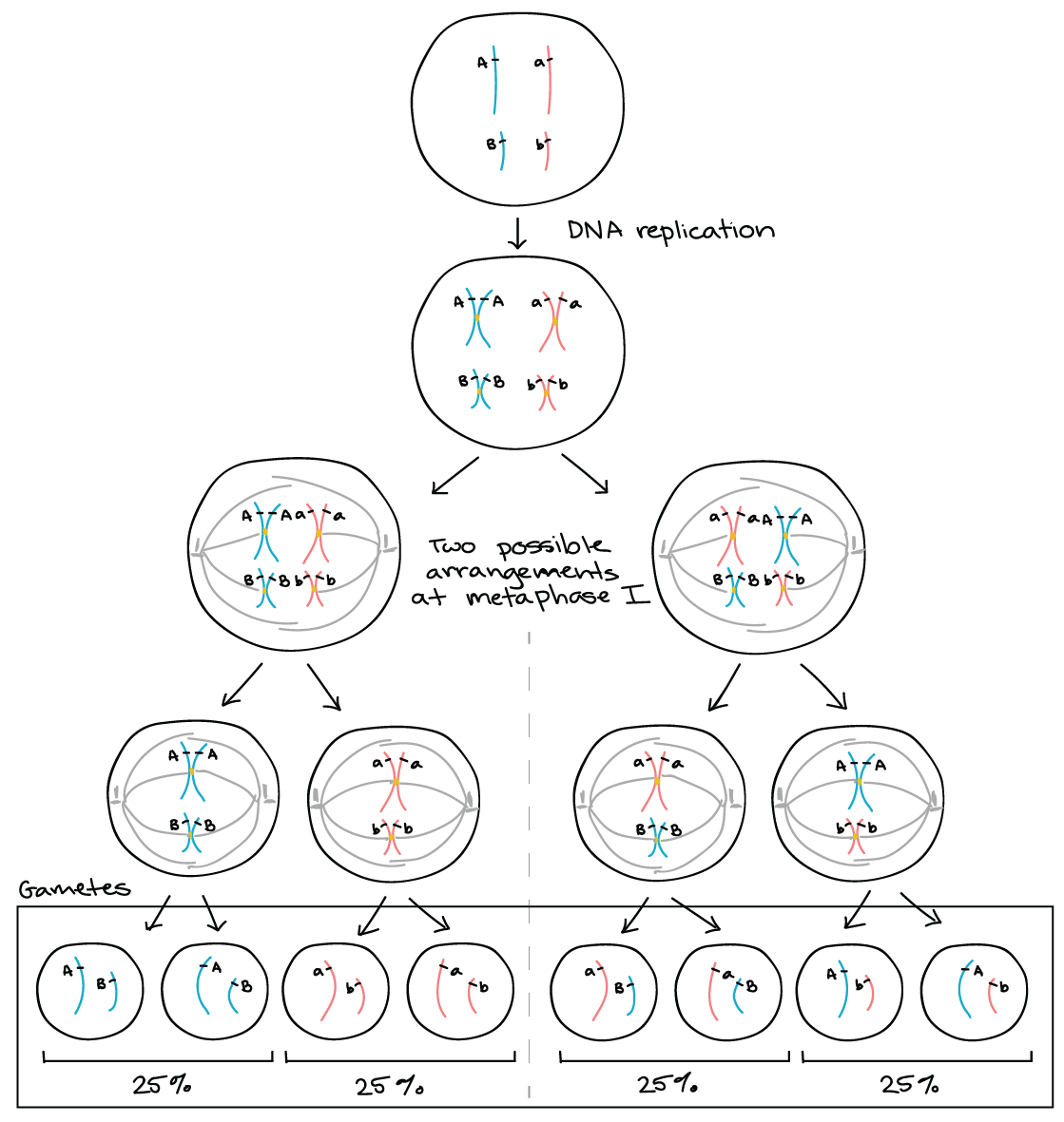 Genetic Linkage Mapping Article Khan Academy