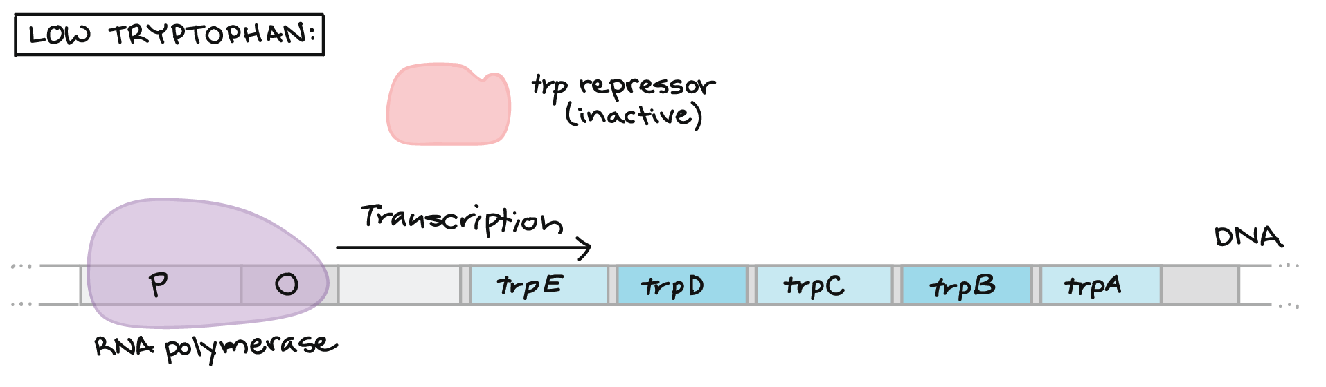 eb7b6802bd70 Low tryptophan   trp  repressor is not bound to tryptophan (since there is  no tryptophan