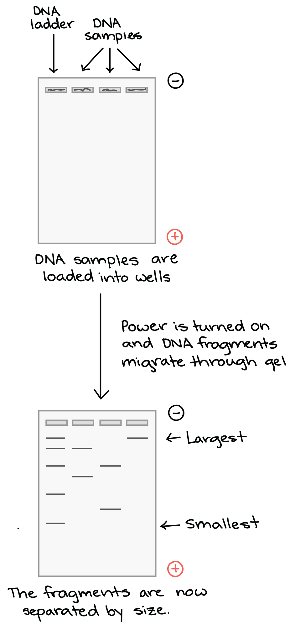 DNA samples are loaded into wells at negative electrode end of gel.  Power is turned on and DNA fragments migrate through gel (towards the positive electrode).  After the gel has run, the fragments are separated by size. The largest fragments are near the top of the gel (negative electrode, where they began), and the smallest fragments are near the bottom (positive electrode).