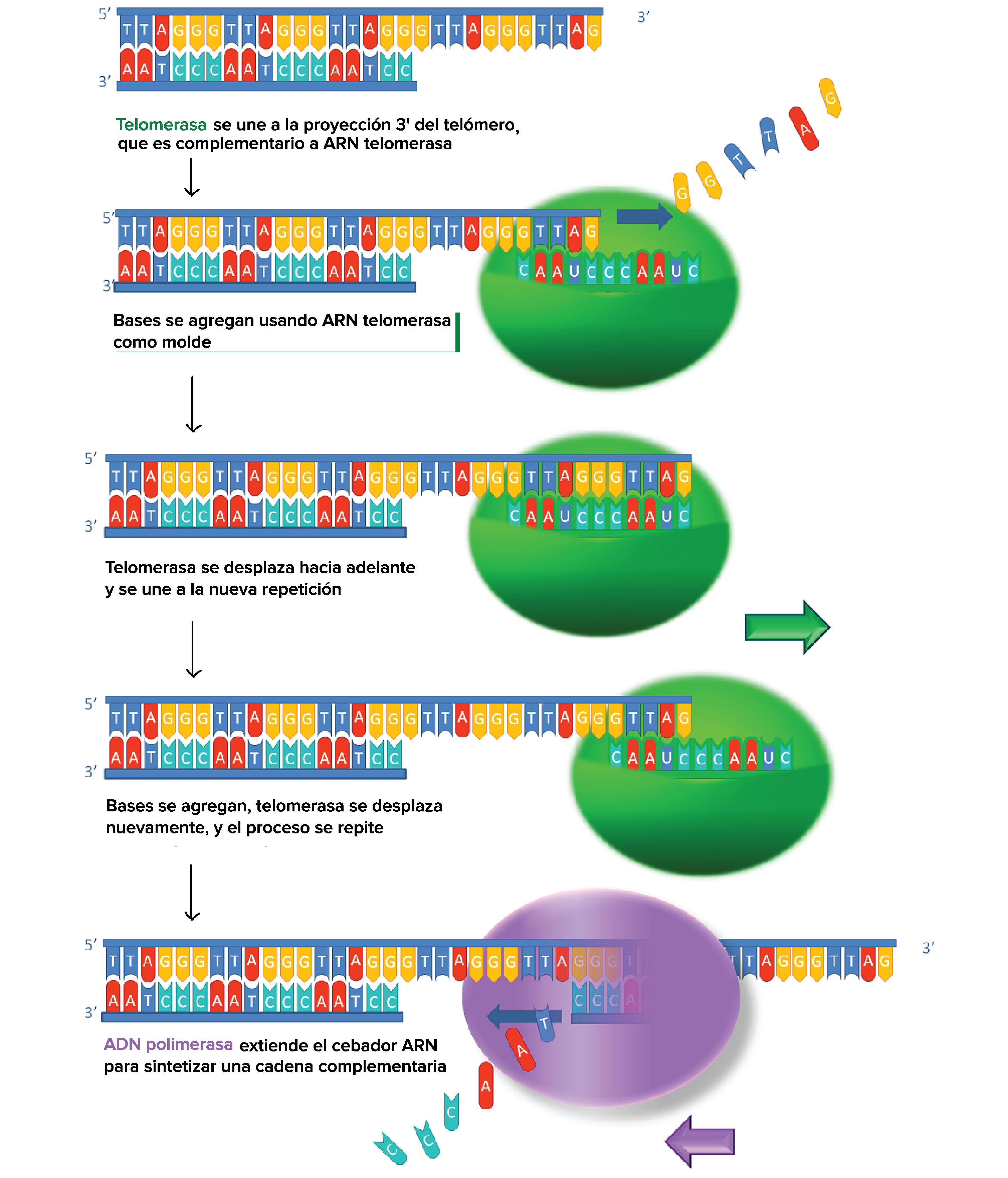 telómeros, telomerasa, inmortalidad.¿Podremos ser inmortales? El secreto de los telómeros y la telomerasa.