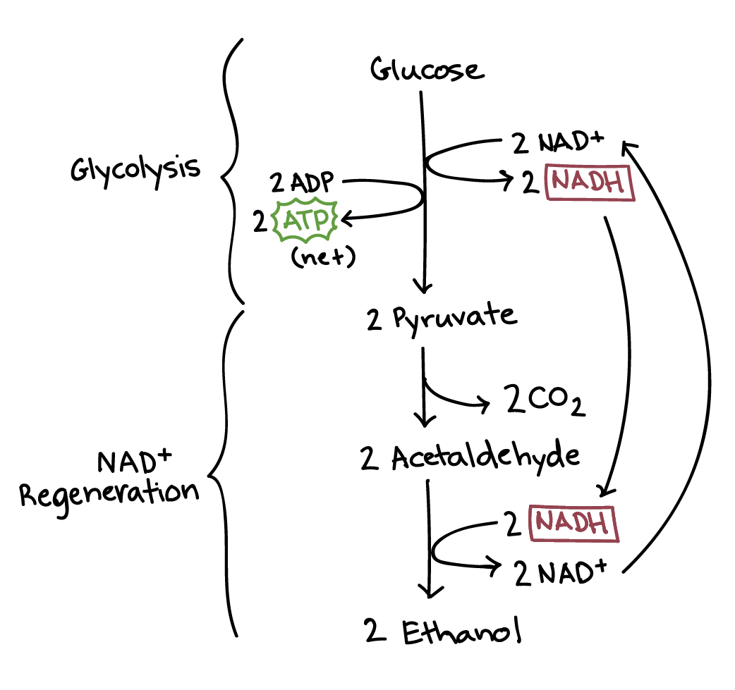 Fermentation And Anaerobic Respiration Cellular Respiration