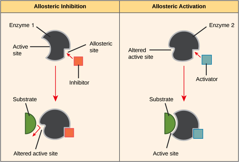 enzyme regulation (article) khan academythe left part of this diagram shows allosteric inhibition the allosteric inhibitor binds to an