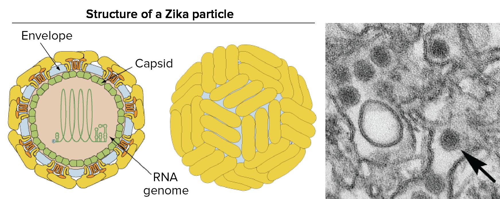 The biology of Zika virus (article)  6dc5561eb0d