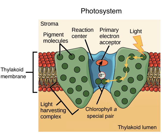 Light Dependent Reactions Photosynthesis Reaction Article