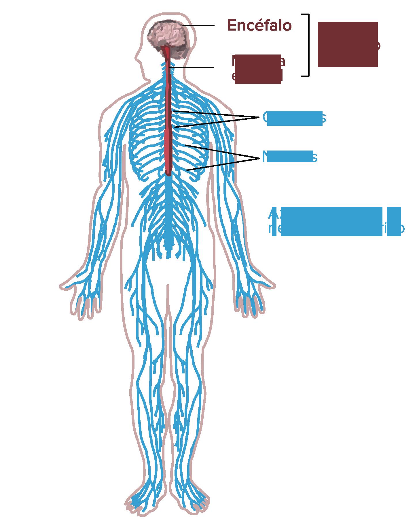 Función Y Estructura De La Neurona Artículo Khan Academy