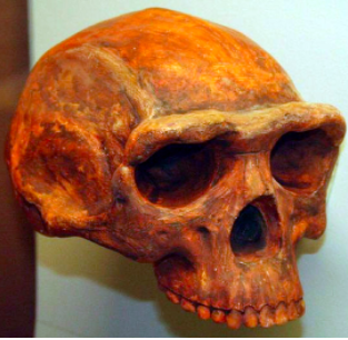 Picture of a _Homo erectus_ skull on a white background. The cranium is more shallow than that of a _Homo sapiens_ skull.