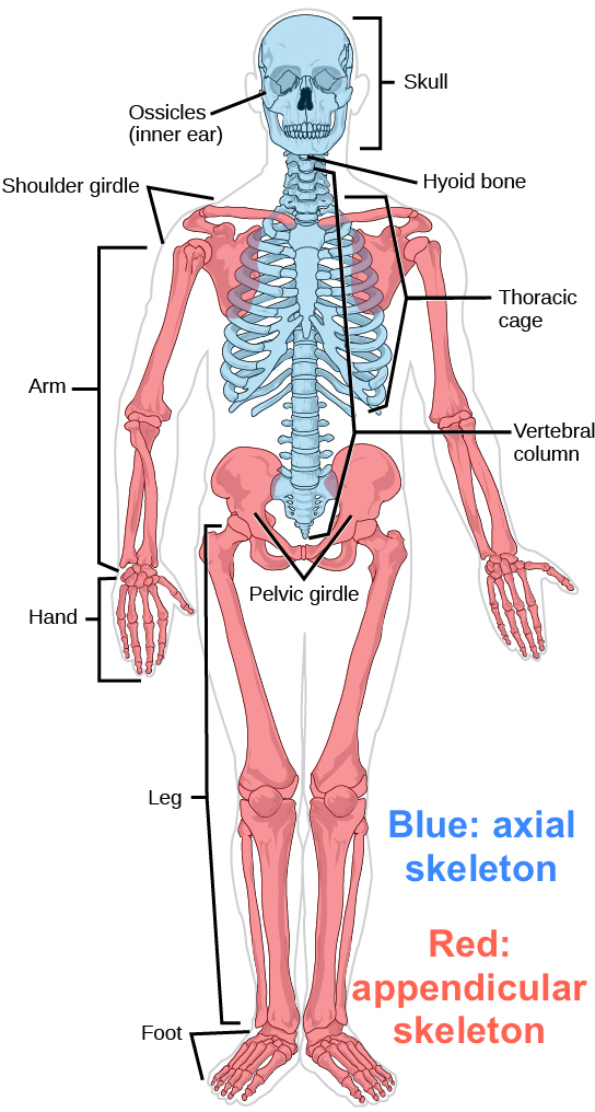 The Musculoskeletal System Review Article Khan Academy