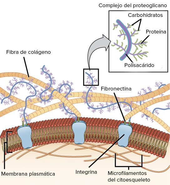 La Matriz Extracelular Y La Pared Celular Artículo Khan