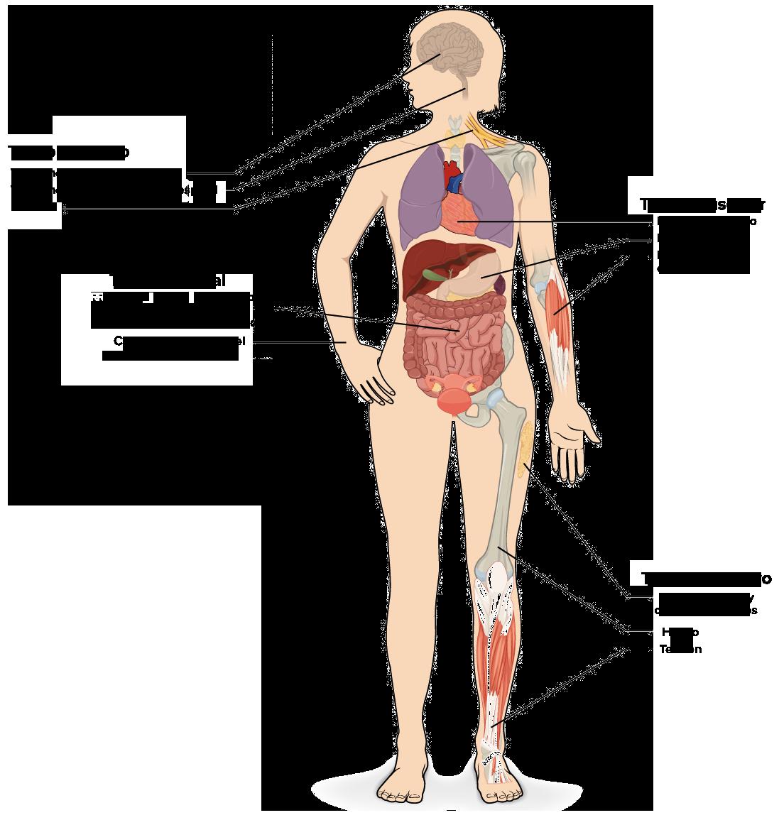 Sistema de organos y organismo