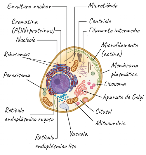 Introducción A Las Células Eucariontes Artículo Khan Academy