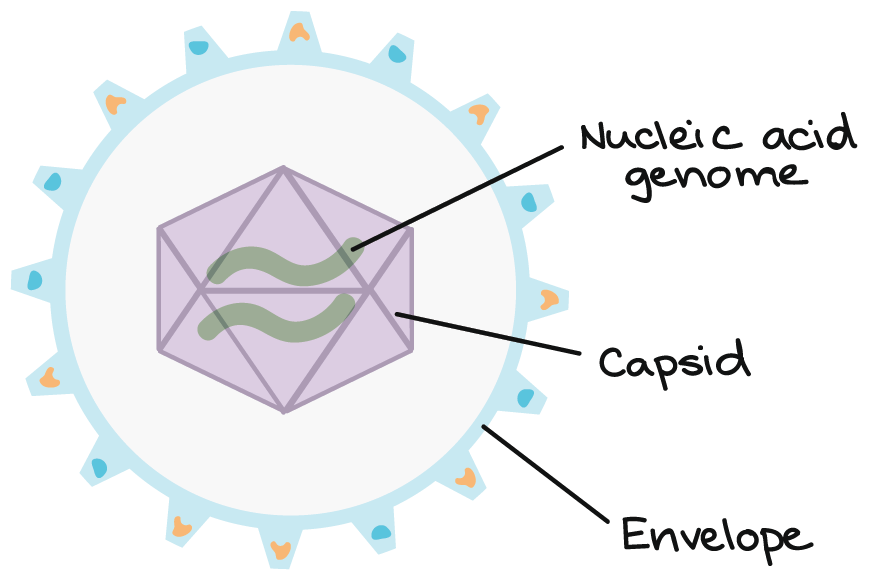 Diagram of a virus. The exterior layer is a membrane envelope. Inside the envelope is a protein capsid, which contains the nucleic acid genome.