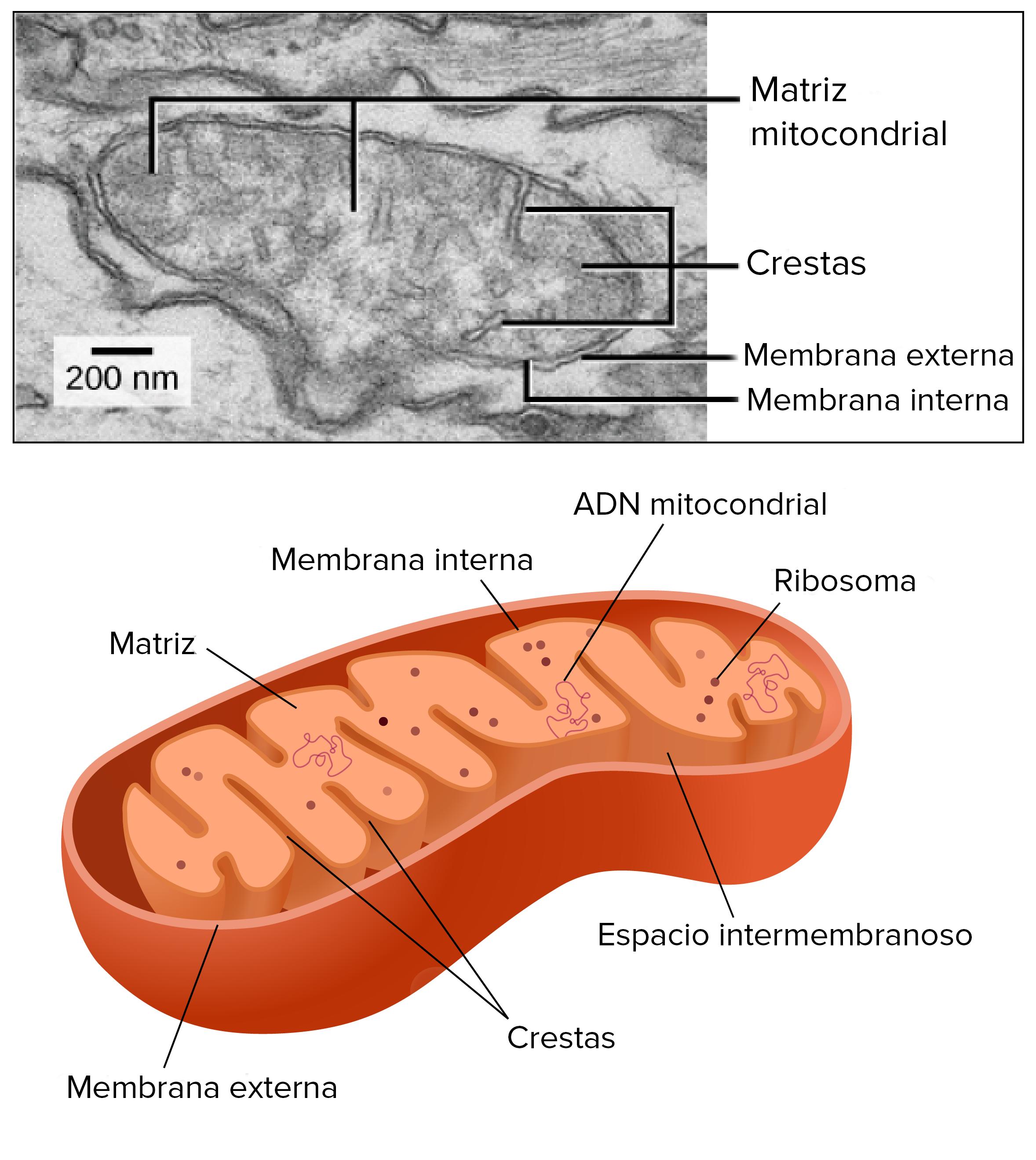 Las Mitocondrias Y Los Cloroplastos Artículo Khan Academy