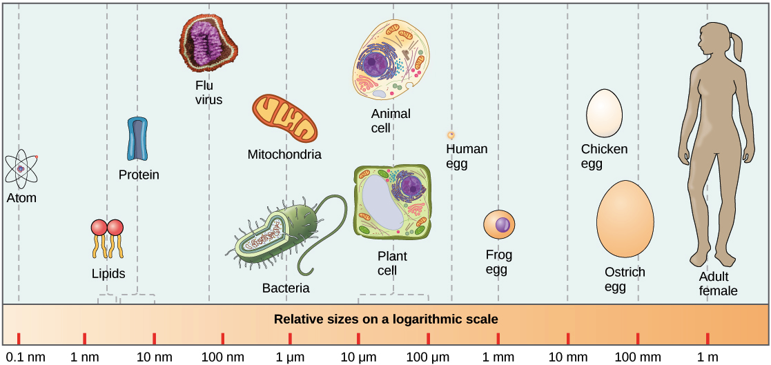 prokaryotic cells (article) cells khan academygraph showing the relative sizes of items from, in order, atoms to proteins to
