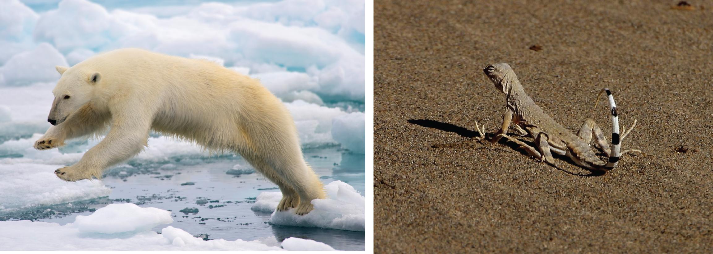 Esquerda, urso polar pulando entre campos de gelo. Direita, lagarto em Death Valley.