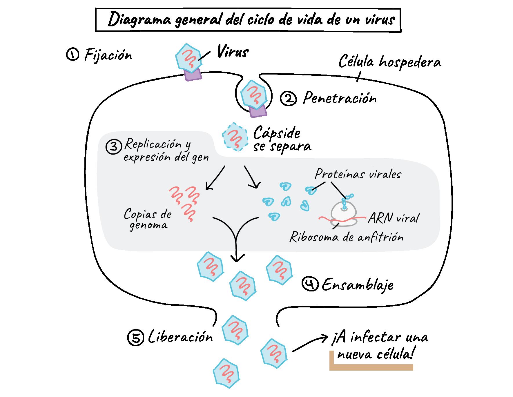 Introducción A Los Virus Artículo Virus Khan Academy