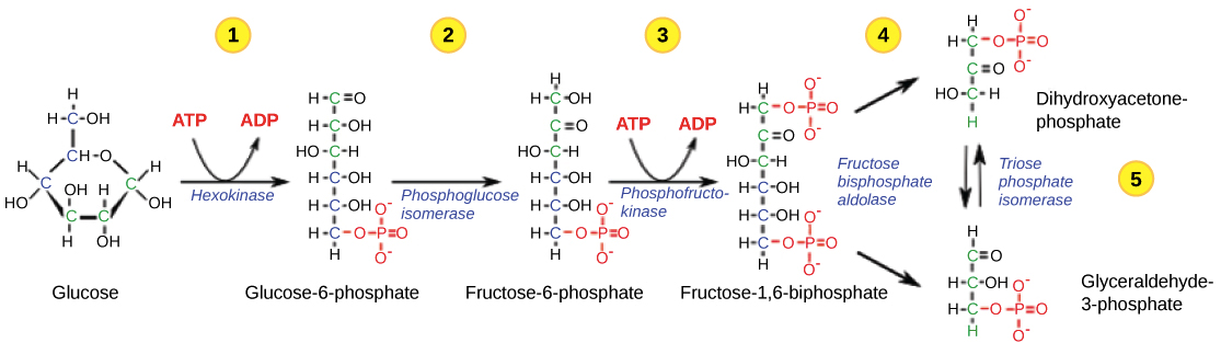 Detailed Steps Of The First Half Glycolysis 1 Glucose Is Converted To