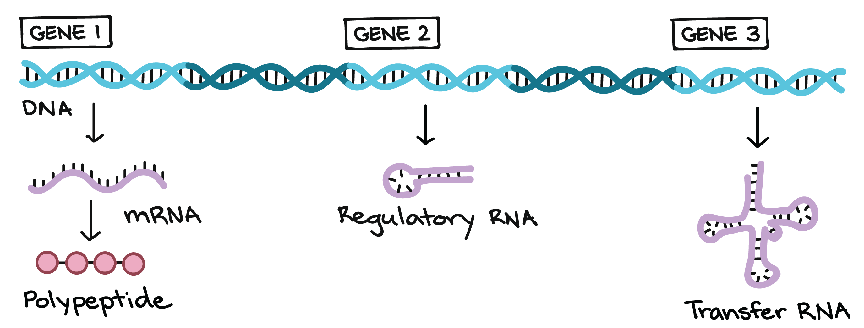 how is information to make proteins passed on through generations