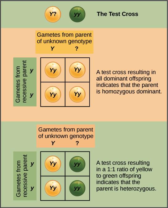 Mendels Law Of Segregation Genetics Article Khan Academy