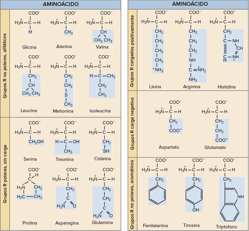 Introducción A Las Proteínas Y Los Aminoácidos Artículo