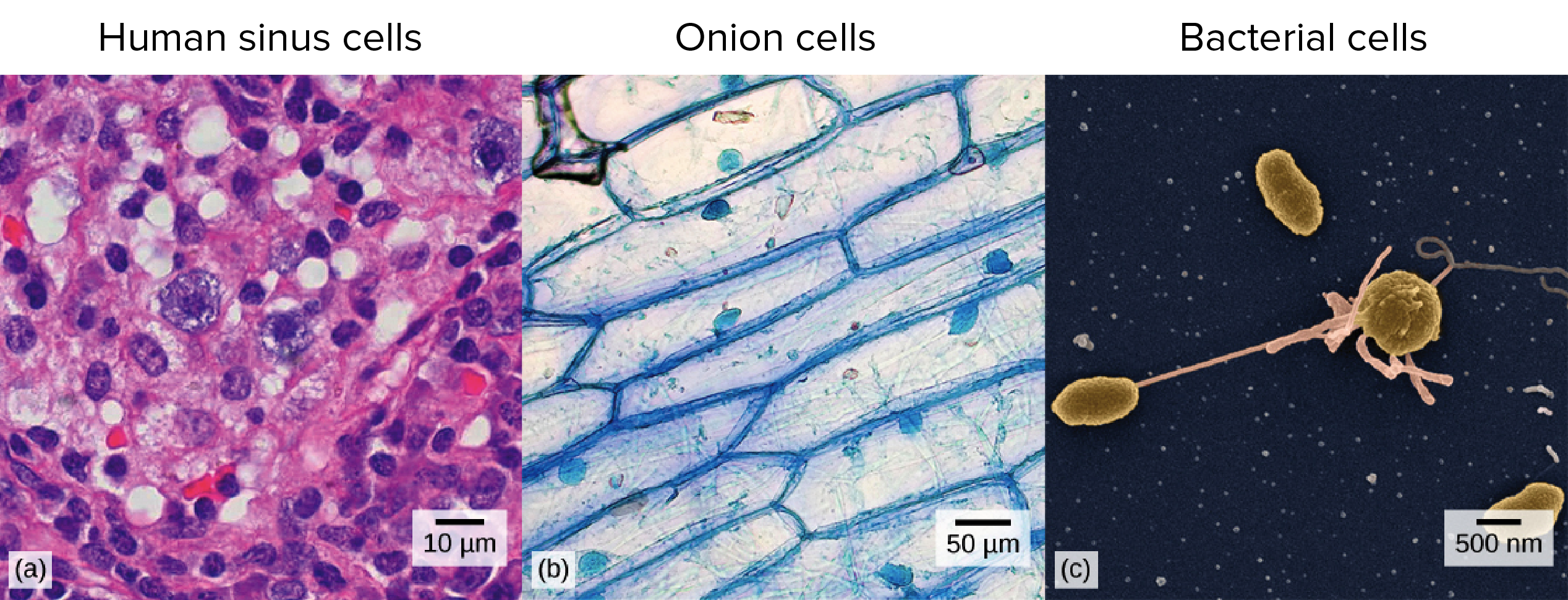 Micrographs of human, onion, and bacterial cells.