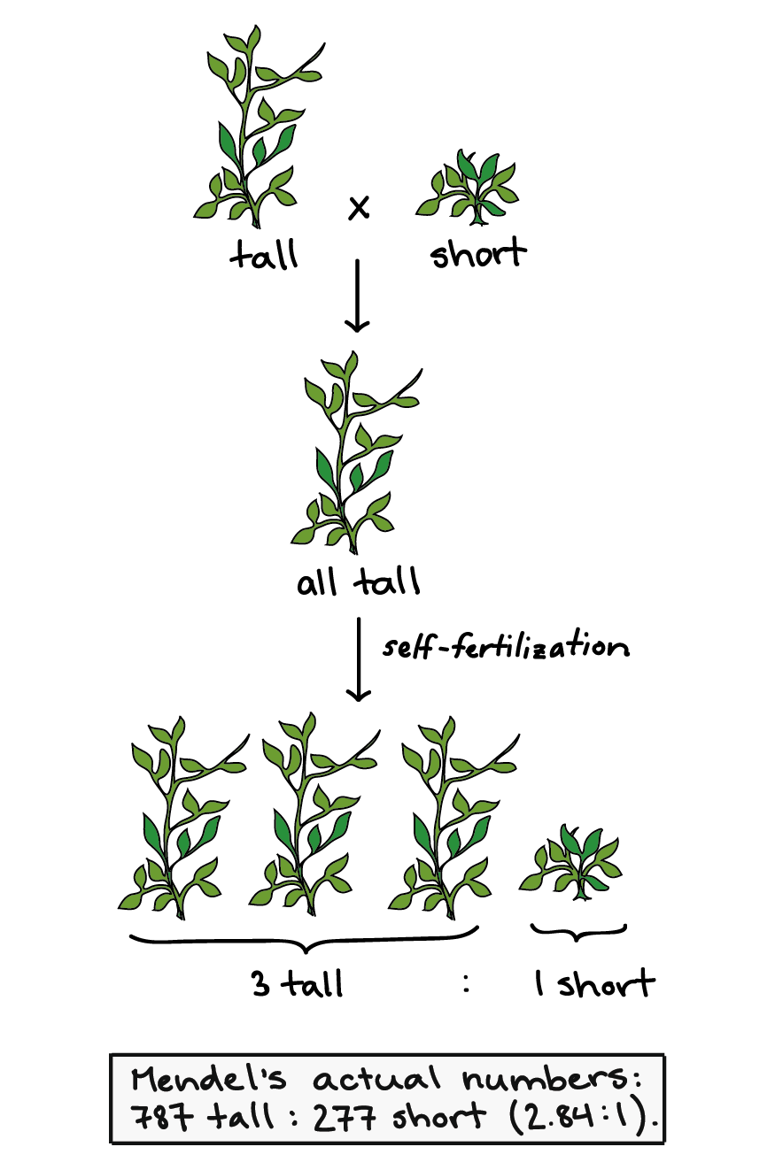 representation of results from one of mendel's experiments  when a tall and  short plant are
